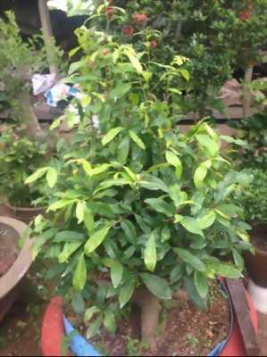 2 cây mai vàng và trắng đỏ lá nhỏ.