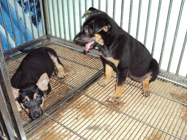 Hiện nay chó Phú Quốc lai giá bao nhiêu?