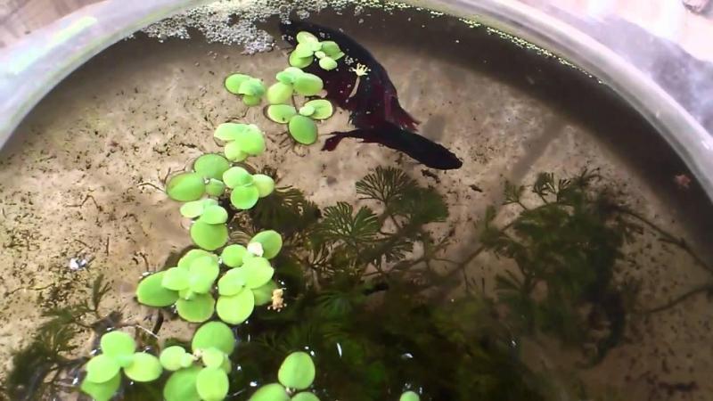 Hướng dẫn cách ép cá lia thia ( cá xiêm) hay nhất 3