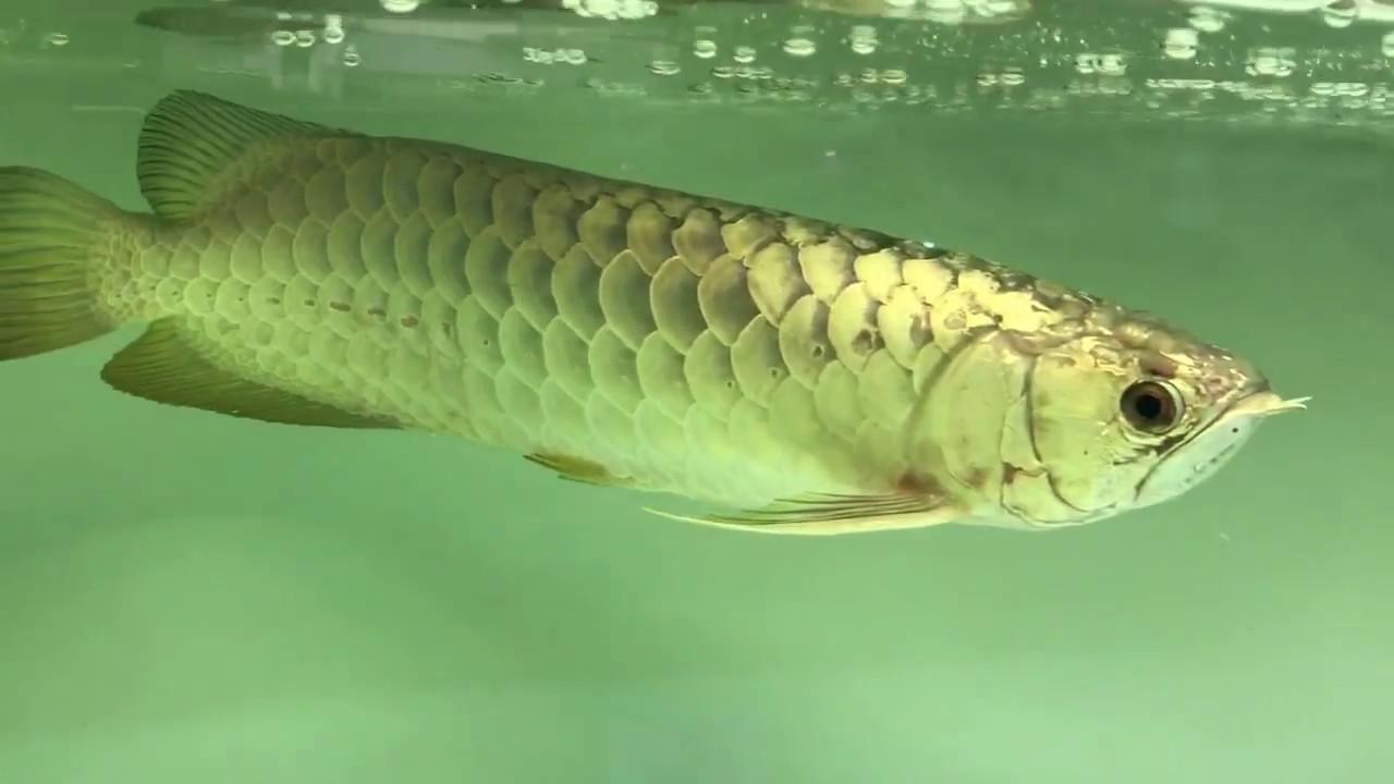 Bạn đã biết giá bán cá rồng con tại thành phố Hồ Chí Minh hiện nay 2