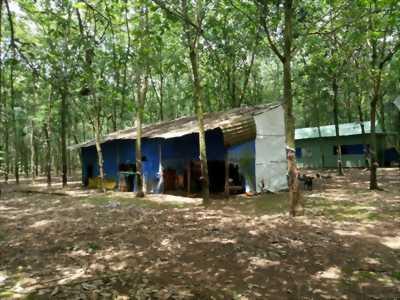 Bán 26ha đất cao su Tân Lợi, Đồng Phú, Bình Phước