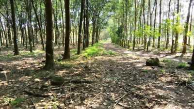 Bán 10,5 ha cao su 2 mặt đường thuận phú đồng