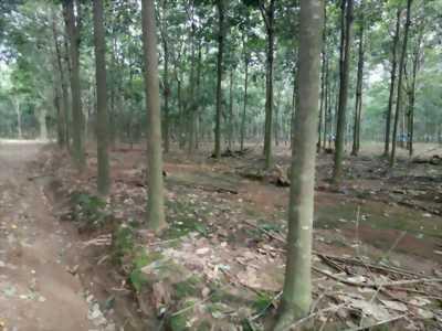 Bán đất cao su Tân Hưng Đồng Phú Bình Phước