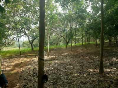 Bán 4,8 HA cao su đang thu hoạch Phú Riềng Bình Phước.