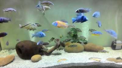 Bể và cá ali