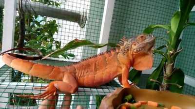 Thú cưng Iguana