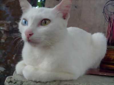 Mèo trắng vàng mắt xanh nhà đẻ hnvn 2018
