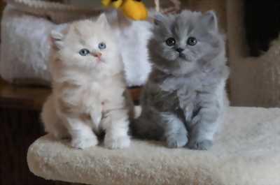 Mèo xù ald mắt xanh nhà đẻ