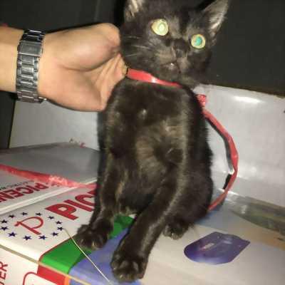 Mèo ALD đen tuyền