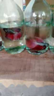 Cá betta