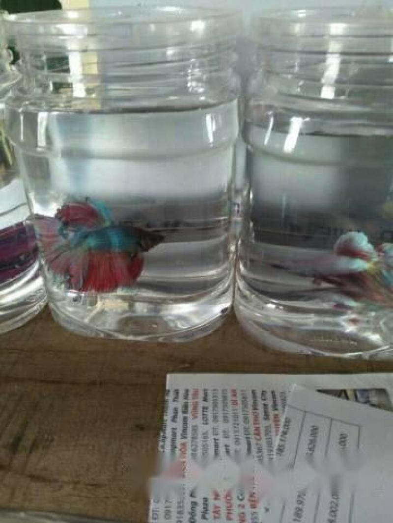 Cá betta halfmoon cá trên 4 tháng