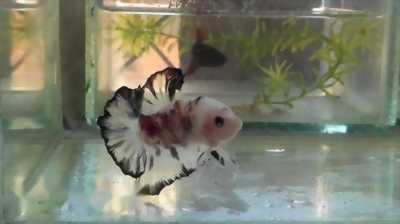 Cá betta đuôi tưa và hafmoon các loại