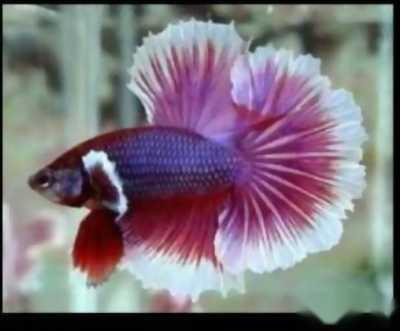 Cá betta hafmon
