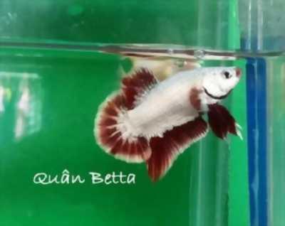Bán cá Betta - sim kiểng, đẹp mê ly, giá ưu đãi