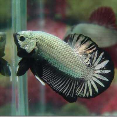Bán cá Betta đủ loại, đủ màu, giá tốt nhất