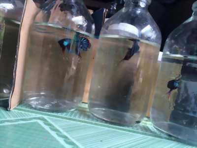 Bán Cá Betta đồng với giá rẻ, đảm bảo chất lượng 100% về cá nhà em nha
