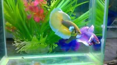 Rao bán gấp cá Betta Dumbo Hafmoon độc, lạ, đẹp lung linh, giá cả hợp lí