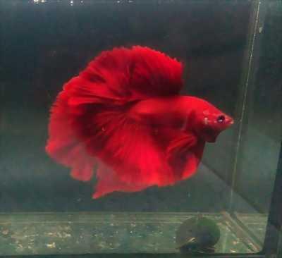 Muốn nhường lại một con cá cảnh Betta có màu super red nóng bỏng, đặc sắc.