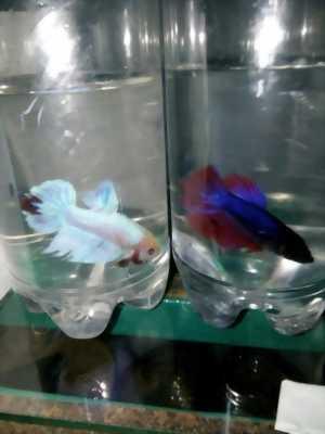 Bán lại cá Bettas rồng, có màu đẹp lung linh, để lại giá cả hữu nghị