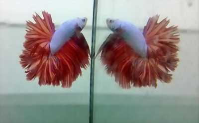 Share lại cho anh em muốn mau cá Betta Hafmoon đuôi hoa độc đáo với giá cả tốt.