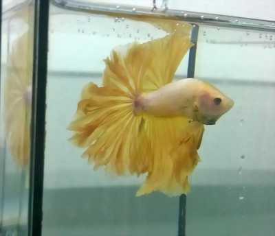 Thanh lý cá Betta Hafmoon có màu vàng đặc trưng. độc, đẹp.