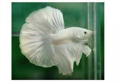 Cần bán một số loại cá BETTA xinh đẹp, khỏe mạnh, dễ nuôi, dễ ăn với giá hữu nghị nhé các ae