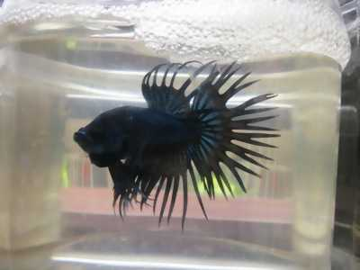 Thanh lý giá rẻ cá Betta rồng đen.