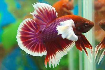 Cá betta f1 indo giá rẻ đẹp tuyệt vời