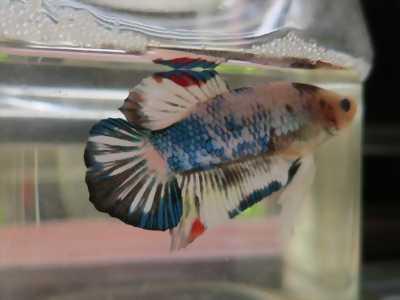 Cá Betta Fance copper, đẹp rẻ  tại quận tân phú