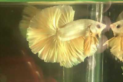 Bán cá Betta Indo, Thái Lan cá đẹp giá ưu đãi