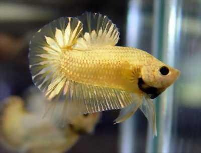 Cá betta Douma trắng ánh gold