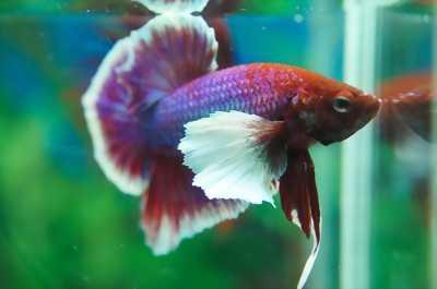 Cá Betta Xiêm Thái đa chủng loại và màu sắc.