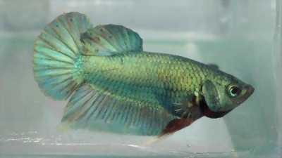 Bán Cá betta có nhiều giống loại khác nhau