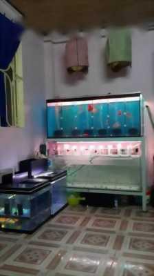 Cần bán cá Betta Thái Lan