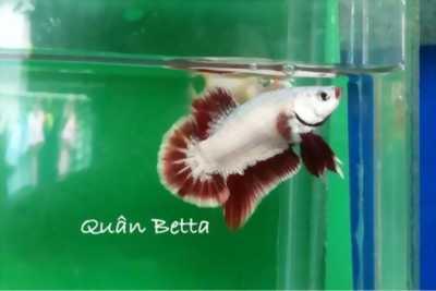 Cá Betta - sim kiểng