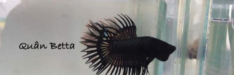 Bán cá Betta - Phướng - Halfmoon