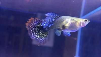 Guppy 7 màu cá vàng betta