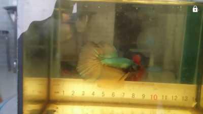Mua bán cá betta Thái giá rẻ đẹp tại tp.HCM quận tân phú