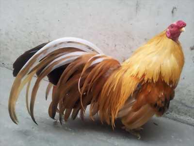 Bội tập thể lực cho gà