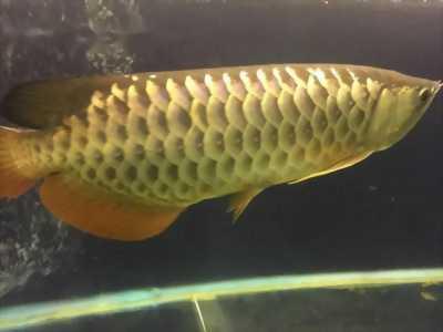 Bán cá rồng lớn màu gold đẹp kèm luôn bể