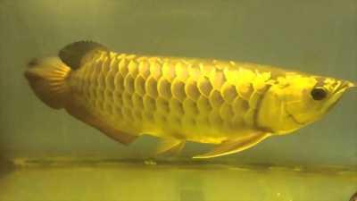 Cá rồng gold cực đẹp đang cần bán gấp đây