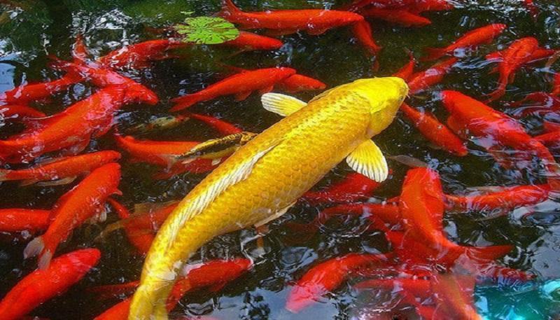 Cách nuôi cá cảnh theo tuổi hút tài lộc