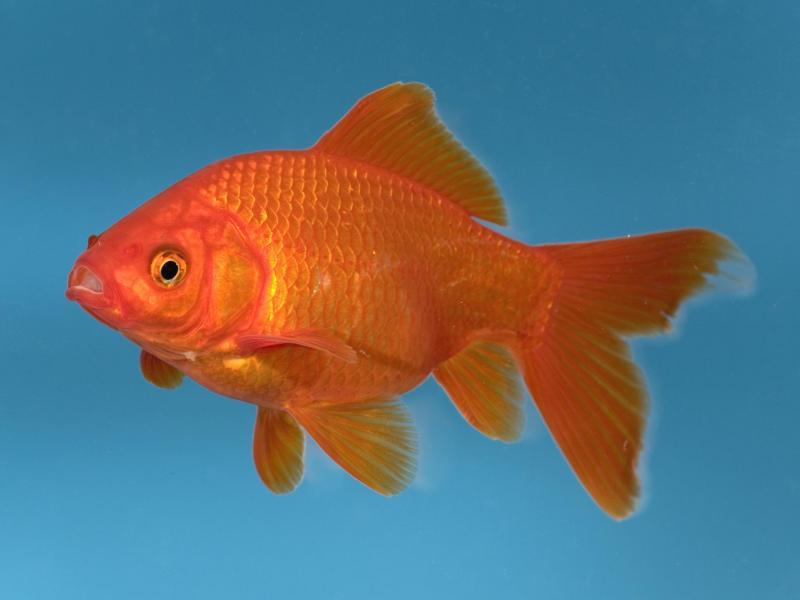 Những điều cần biết khi nuôi cá chép vàng