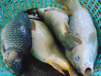 Chép giòn sống đẹp và cá ngộp