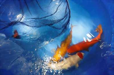 Combo Tết đàn cá Chép KOI size lớn