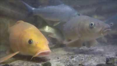 Cá chép vàng đây