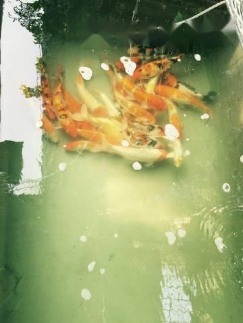 Cá Chép Koi