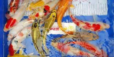 Lô cá chép Koi size 30-35 body chuẩn