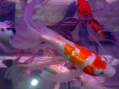 Combo 7 con cá chép KOI Kohaku size 15 và 20cm, cá mập, lưng gù, màu sậm