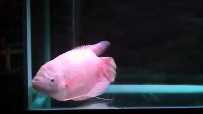 Cá tài phát bự hàng hiếm tai vn